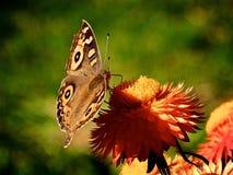 Mariposa en la flor anaranjada Fotos de archivo libres de regalías