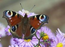 Mariposa en la flor azul Imagenes de archivo