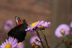 Mariposa en la flor azul Fotos de archivo libres de regalías