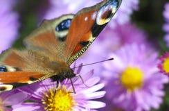 Mariposa en la flor azul Fotografía de archivo