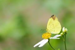 Mariposa en la flor blanca Fotos de archivo