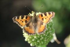 Mariposa en la flor de la cebolla foto de archivo