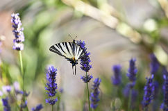 Mariposa en la flor de la lavanda Imagen de archivo