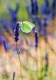 Mariposa en la flor de la lavanda Fotografía de archivo libre de regalías