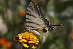 Mariposa en la flor de la maravilla Imagenes de archivo