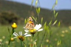 Mariposa en la flor de la margarita Imagenes de archivo
