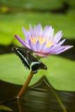 Mariposa en la flor de loto Fotos de archivo
