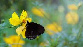 Mariposa en la flor del cosmos Imágenes de archivo libres de regalías