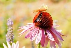 Mariposa en la flor del Echinacea Fotografía de archivo libre de regalías
