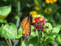 Mariposa en la flor del lantana Foto de archivo libre de regalías