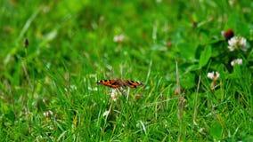 Mariposa en la flor del trébol almacen de metraje de vídeo