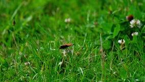 Mariposa en la flor del trébol almacen de video