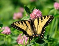 Mariposa en la flor del trébol imágenes de archivo libres de regalías