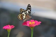 Mariposa en la flor en el jardín foto de archivo libre de regalías