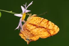 Mariposa en la flor/el liaea/el amarillo de Symbrenthia Fotografía de archivo libre de regalías