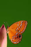 Mariposa en la flor/el varón/el burnii /brown de Abisara Fotos de archivo