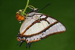 Mariposa en la flor/el varón/el eudamippus/el blanco de Polyura Imagenes de archivo