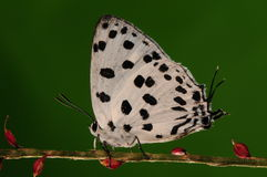 Mariposa en la flor/el varón/el punto negro blanco Imagenes de archivo