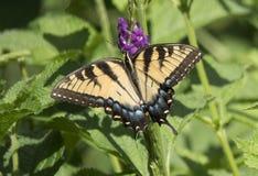 Mariposa en la flor púrpura imagen de archivo libre de regalías
