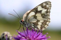 Mariposa en la flor púrpura 2 Imágenes de archivo libres de regalías