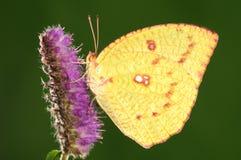 Mariposa en la flor, pyranthe de Catopsilia Imagenes de archivo