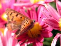 Mariposa en la flor roja Fotografía de archivo
