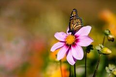Mariposa en la flor rosada Foto de archivo libre de regalías