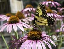 Mariposa en la flor rosada del cono Fotos de archivo
