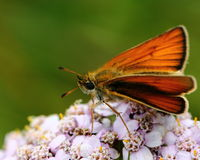 Mariposa en la flor salvaje Foto de archivo libre de regalías