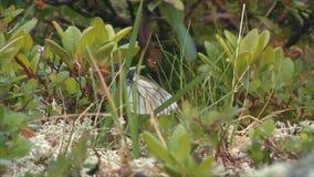 Mariposa en la hierba almacen de metraje de vídeo