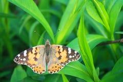Mariposa en la hierba. Fotos de archivo libres de regalías