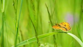 Mariposa en la hierba almacen de video