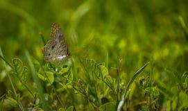 Mariposa en la hierba Imagenes de archivo