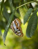 Mariposa en la hoja Imagen de archivo