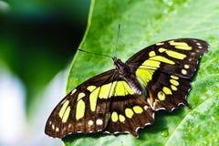 Mariposa en la hoja Imagen de archivo libre de regalías