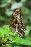 Mariposa en la hoja Foto de archivo libre de regalías