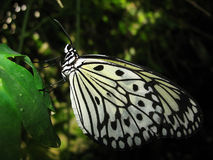 Mariposa en la hoja verde Imagen de archivo