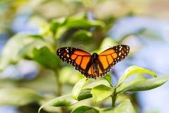 Mariposa en la hoja verde fotografía de archivo libre de regalías