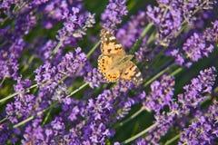 Mariposa en la lavanda Imagenes de archivo