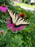 Mariposa en la naturaleza del echinacea foto de archivo libre de regalías