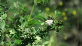 Mariposa en la planta en Altai almacen de video