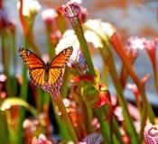 Mariposa en la planta de jarra Fotos de archivo