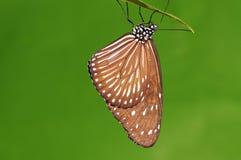 Mariposa en la ramita, Fotos de archivo