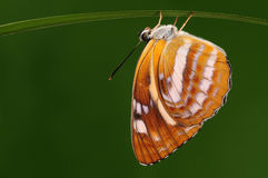 Mariposa en la ramita/el manasa /yellow de Neptis Foto de archivo