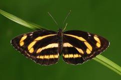 Mariposa en la ramita/el manasa /yellow de Neptis Imagen de archivo libre de regalías