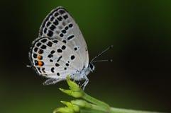Mariposa en la ramita en la noche, filicaudis de Tongeia Imagenes de archivo
