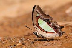 Mariposa en la ramita/los athamas de Polyura/el agua potable Imagenes de archivo