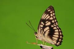 Mariposa en la roca, ranga de Athyma Fotos de archivo