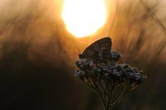 Mariposa en la salida del sol Imagen de archivo