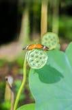 Mariposa en la semilla del loto imagenes de archivo